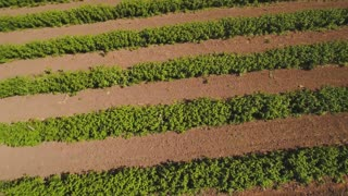 Strawberry field from flying drone