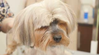 The groomer cuts the dog's fur