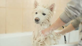 The groomer washes white husky in bathroom
