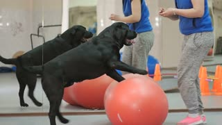 The trainer teaches the black labrador in the gym