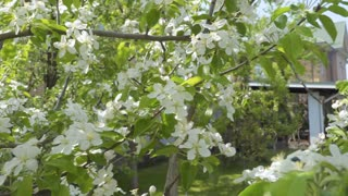 Trees with white flowers in the garden