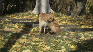 Two stray dogs fighting in the park