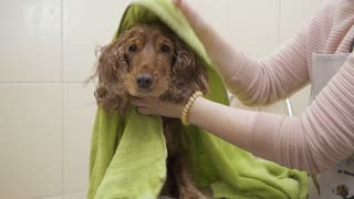 Woman wipes wet dog after shower