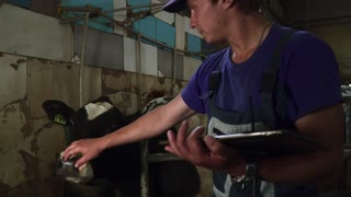 Young farm worker plays with a cow