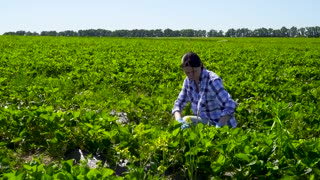 Young girl picking strawberries at the plantation