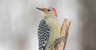 4K Red Bellied Woodpecker On A Snowy Day