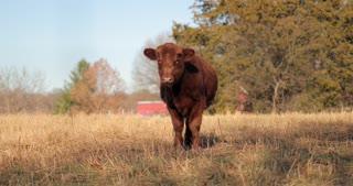 4K Cow In Grassy Field Pan Shot