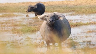 Cambodian Asian Water Buffalo In Pond
