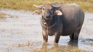 Cambodian Water Buffalo In Pond Mid Shot