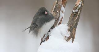 Dark Eyed Junco On A Snowy Branch