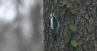 Downy Woodpecker On A Snowy Day