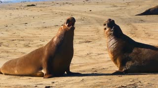 Elephant Seals Fighting Battle Tight Shot Throwing Sand