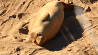 Elephant Seals Sleeping On The Sand