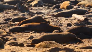 Elephant Seals Sleeping Throwing Sand To Keep Cool