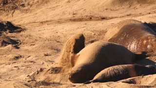 Elephant Seals Sleeping Throwing Sand