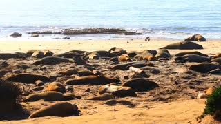 Elephant Seals Sleeping Wide Shot Throwing Sand