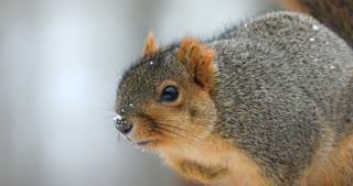 Fox Squirrel On A Snowy Day