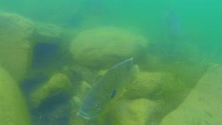 Green Sunfish Spawning Guarding Nest