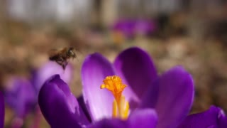 Honey Bee Crocus Slow Mo