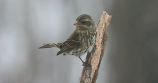House Finch Female On A Snowy Day