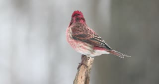 4K House Finch Male On A Snowy Day