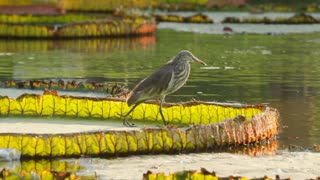 Pond Heron Hunting On Lilly Pad Thailand