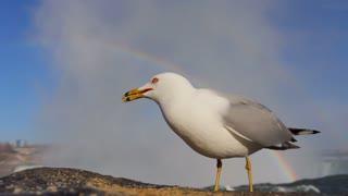 Seagull Eating Niagara Falls Rainbow
