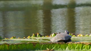 Turtle On Lilly Pad Thailand