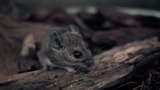 4K Black Plague Rodent Mice Rats Sickness Disease Death Fleas