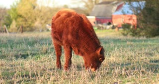 4K Cow In Field Eating Grass Livestock