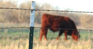 4K Cows In Field Eating Grass Focus Pull Barbed Wire Fence Slider Shot