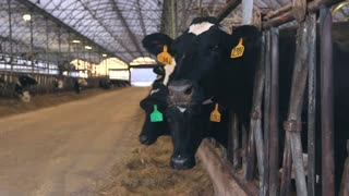 Cattle Barn Silage Cows Eating Slider Shot