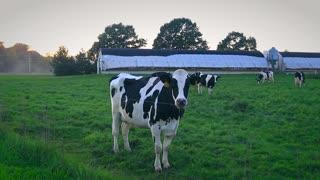 Cow Walking Farm Slow Motion Slider Shot