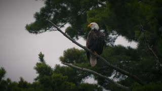 Gorgeous Bald Eagle American Patriotic Bwca Pristine Lake Wild Quetico In The Boundary Waters Wilderness 4K Nature