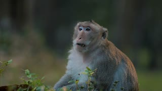 Incredible Wild Monkeys Eating Roots Long Tailed Macaque Jungle Animal Wildlife Mammal 4K Nature