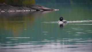 Loon Bird Swimming In Pristine Lake Quetico In The Boundary Waters Bwca Wilderness 4K Nature Mid Shot