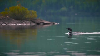 Loon Bird Swimming In Pristine Lake Quetico In The Boundary Waters Bwca Wilderness 4K Nature