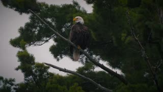 Magestic Bald Eagle American Patriotic Bird Wild Pine Tree Wilderness 4K Nature
