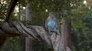 Monkeys Cambodia Long Tailed Macaque Angkor Wat Siem Reap 4K