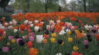Slider Shot Holland Tulip Festival Dutch Spring Flowers Cinematic Slow Mo 4K