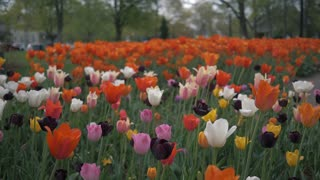Slider Shot Tourist Holland Tulip Festival Dutch Spring Flowers Cinematic Slow Mo 4K