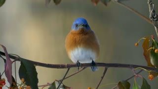 Springtime Birds Eastern Bluebird Wildlife Birding 4K Nature
