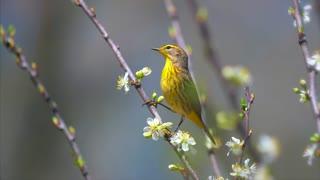 Springtime Birds Migration Palm Warbler 4K Nature