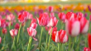 Springtime Flowers Slider Shot Tulip Festival Holland Netherlands Cinematic Film Look 4K Nature