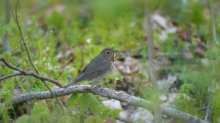Wood Thrush Birds Migration Springtime 4K Nature