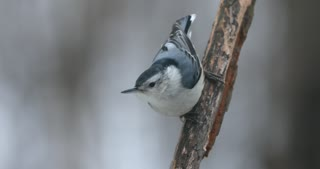 White Breasted Nuthatch On A Snowy Day