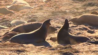 Young Elephant Seals Fighting Battle Mid Shot Throwing Sand