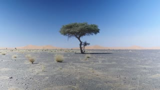 Beautiful tree alone in a deserted landscape with sand dunes in background. Merzouga desert Morocco