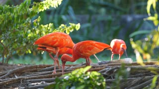 Group of scarlet ibis French Guiana.