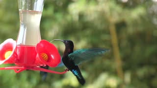 humming-bird flying stationary and drinking nectar in slowmotion. Martinique Balata garden